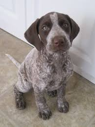 german shorthaired pointer shed brown brindle pointer puppy sitting cani pointer
