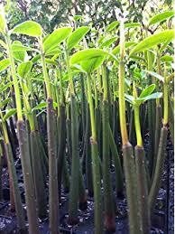 Make Cypress Knee Lamps by Amazon Com Medium Cypress Knee Tree Plants Garden U0026 Outdoor