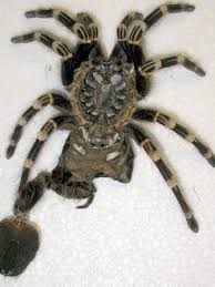 molting process theraphosids tarantulas of the world keeping