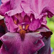 buy german iris bulbs company bearded iris bulbs in cheap
