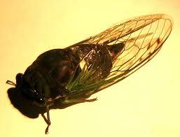 Biocurious Amateur Entomology Insect Wing Nanostructure