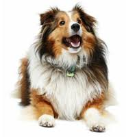 Sheltie Shedding Puppy Coat by How Bad Do Shelties Shed Advice From Real Sheltie Owners