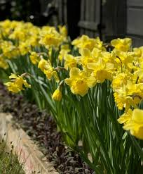 narcissus king alfred trumpet daffodils narcissi flower bulb