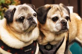 Do Pugs And Puggles Shed by Successful Adoption Under My Wing U2013 Pug Rescue Adoption And