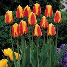 darwin hybrid tulip apeldoorns elite k bourgondiens