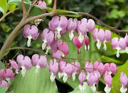 coeur de en pot plantation du coeur de les bons gestes