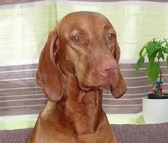 do vizsla dogs shed sebaceous adenitis vizsla health