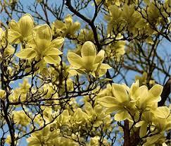 Magnolia Garden Center Magnolias