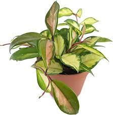 hoya carnosa tricolor wunderschöne hängende zimmerpflanze ebenso wachsblume oder porzellanblume genannt pflegeleichte pflanze für das wohnzimmer