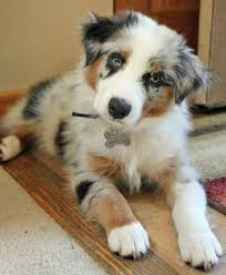 bodie the australian shepherd oh be still my who can