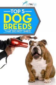 Non Shed Dog Breeds Hypoallergenic by 10 Non Shedding Dogs U0026 Best Breeds For Allergic People
