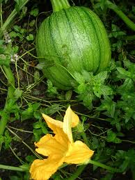 Types Of Pumpkins For Baking by How To Grow Pumpkins Growing Pumpkins Garden Pumpkins