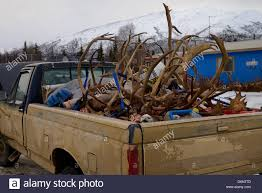 Muddy Pickup Truck Of Hunters In Coldfoot Alaska With Heads And ... Photos Opening Day Of Wyomings Shed Hunting Season Outdoor Life Holiday Lighted Car Antlers Pep Boys Youtube Wip Beta Released Beamng Antlers The Cairngorm Reindeer Herd Dump Truck Full Image Photo Bigstock Atoka Ok Official Website Meg With Flowers By Myrtle Bracken Vw Kombi Worlds Best And Truck Flickr Hive Mind Amazoncom Bluegrass Decals Show Me Your Rack Deer May 2009 Bari Patch My Antler Base Shift Knob Elk Pinterest Cars Buck You Vinyl Window Decal Nature Woods Redneck