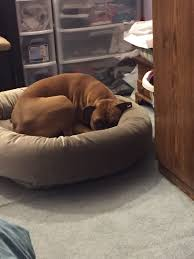 Llbean Dog Bed by Dog Beds Page 2 Boxer Forum Boxer Breed Dog Forums