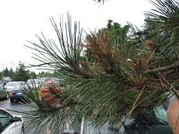 Christmas Trees Types by Tips For Identifying Pinetrees In The Northeast Cedarlawn Tree