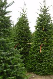 Silvertip Fir Christmas Tree by Christmas Trees Green Fashion Florist San Mateo Ca