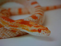 Corn Snake Shedding Signs by New Corn With Stuck Shed At Tail What Do I Do