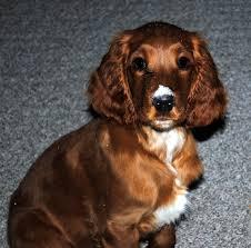 Welsh Springer Spaniel Shedding by Adopt Layla On Tibetan Terrier Springer Spaniel And English