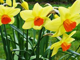 planting bulbs superior lawn maintenance and landscaping