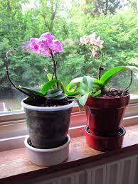 entretenir une orchidée miniature guide pratique