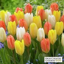 emperor tulip bulbs retro mix tulipa fosteriana emperor tulip