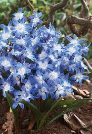 of the snow chionodoxa forbesii blue from netherland bulb