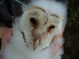Barn Owl Info – Gloucestershire Barn Owl Monitoring Programme Barn Owl Eating Mouse Sussex Uk Tyto Alba Stock Photo Royalty Bird Of The Month Owl Barn A Free Image 51931121 How To Attract Owls Your Yard 1134 Best Birdsstrigiformesowls Images On Pinterest Wikipedia Facts Pictures Diet Breeding Habitat Behaviour Eating Picture And 1861 Owls Snowy Saw Whets Chick Raptor Conservancy Virginia Baby And Animal