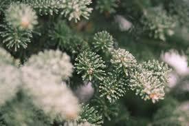 Silvertip Fir Christmas Tree by Shopper U0027s Diary A Christmas Tree Farm In Maine Gardenista