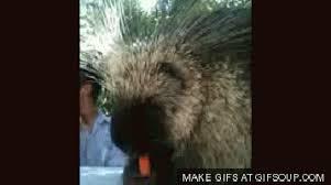 Porcupine Eats Pumpkin by Porcupine Gifs Search Find Make U0026 Share Gfycat Gifs