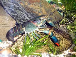 African Dwarf Frog Shedding Or Sick by Article On Caring For The Blue Crayfish Along With Forum