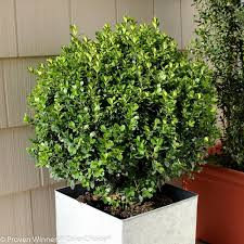 Winterberry Christmas Tree Home Depot by Proven Winners Sprinter Boxwood Buxus Live Evergreen Shrub