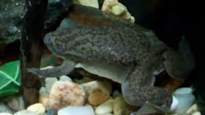 Do Aquatic Dwarf Frogs Shed Their Skin by On Location The African Clawed Frog Youtube