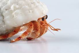 Do Hermit Crabs Shed Their Legs by Hermit Crab With A White Shell All About Hermit Crabs