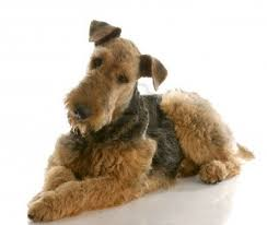 Do Miniature Doberman Pinschers Shed by Do Airedale Terriers Shed U2022 Bunkblog