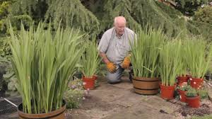 how to plant gladioli bulbs jeff demonstrates how to plant