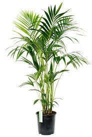 kentia palme best office plants apartment plants office