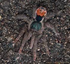 Pumpkin Patch Tarantula For Sale by Neostenotarsus Sp Suriname 1cm Spidersworld Eu