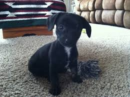 Do Long Haired Chiweenies Shed by Long Haired Chiweenie Chiweenie Puppies For Sale In Pa