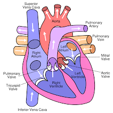 FileDiagram Of The Human Heart Croppedsvg Wikipedia The Free
