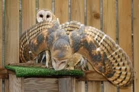 PAWS News Barn Owl Front View Wood Carving My Carvings Pinterest Audubon Field Guide Spring2015vcuornithology The Owls Perch Uncommon Tyto Alba Species Paris Best 25 Owls Ideas On Beautiful Owl And Bee Alerts Scribble Scrabble Babble Schiereule Adult In Gliding Flight