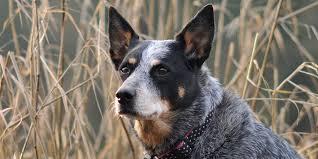 australian cattle dog information characteristics facts names