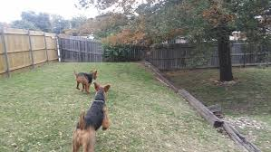 Do Airedale Puppies Shed by Airedale Terrier 101 U2014 Dogwooddales Airedale Terriers