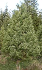 Nordmann Fir Christmas Tree by Tree Descriptions And Pricing