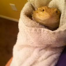 Bearded Dragon Heat Lamp Went Out by 51 Best Bearded Dragon Images On Pinterest Dragon Pet Reptiles