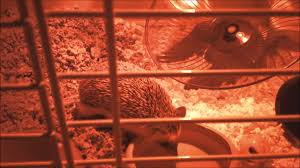 Ceramic Heat Lamp For Hedgehog by Hedgehog Nocturnal Activities Youtube