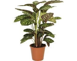 korbmaranthe floraself calathea cultivars flamestar h 80 90 cm ø 19 cm topf