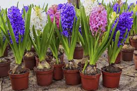 what to do with hyacinth bulbs after they flower hunker