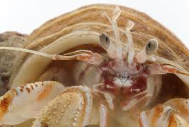 Do Hermit Crabs Shed Their Whole Body by Cannibalistic Hermit Crabs Salivate At The Smell Of Their Dead