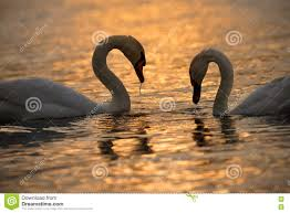 Two Swans On Golden Water Stock Image. Image Of Reflected - 73290927 Jayco Swan Camper Trailer Official Video Youtube Researchers In Singapore Deploy Robot Swans To Test Water Quality Casey Ware Vase 13 X 8 Cm Burgundy Ceramic Treats And Two On Golden Stock Image Image Of Reflected 73290927 Car Wrecker Valley Perth Cash For Cars Removal Suburbs Schwans Trucking Fleet Gets A Makeover Business Wire Migrating Tundra Privsation Waste Management A French Takeover Home Food Delivery Is Hot But Has Done It 65 Years Brockway Trucks Message Board View Topic Pic The The Legacy Campbell River Community Mourns Passing Friendly Estuary Swan