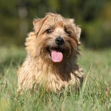 Stop Rat Terrier Shedding by Norfolk Terrier